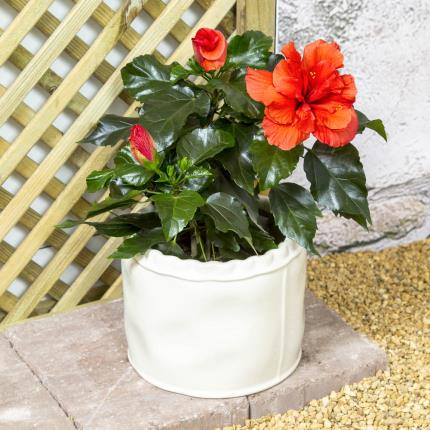 Plants - Hibiscus Hessian Pot - Image 2