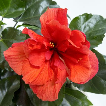 Plants - Hibiscus Hessian Pot - Image 4