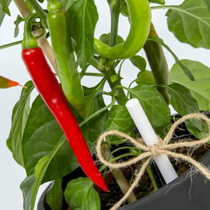 Plants - Chalkboard Chilli Plant - Image 3