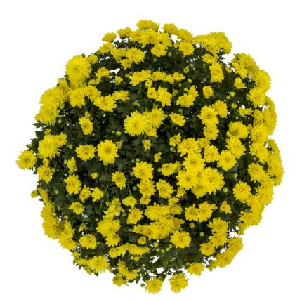 Plants - Standard Pomponette - Image 3