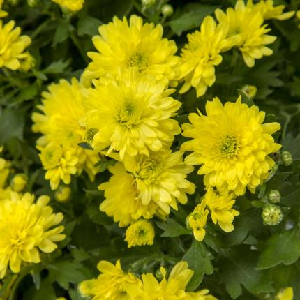 Plants - Standard Pomponette - Image 4