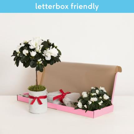 Plants - The Letterbox Christmas Azalea - Image 2