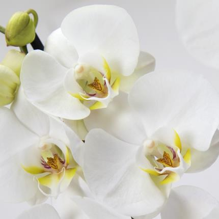 Plants - Orchid Globe - Image 3