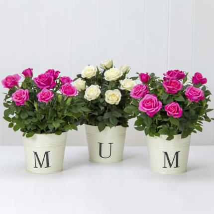 Plants - M U M Roses - Image 2