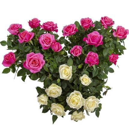 Plants - M U M Roses - Image 3