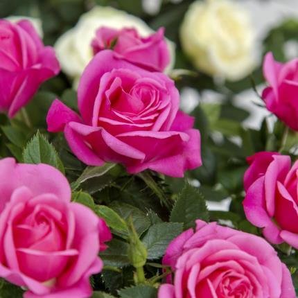 Plants - M U M Roses - Image 4