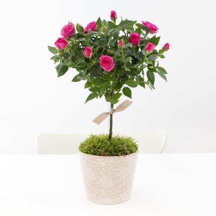 Plants - Mother's Day Miniature Rose Tree - Image 2
