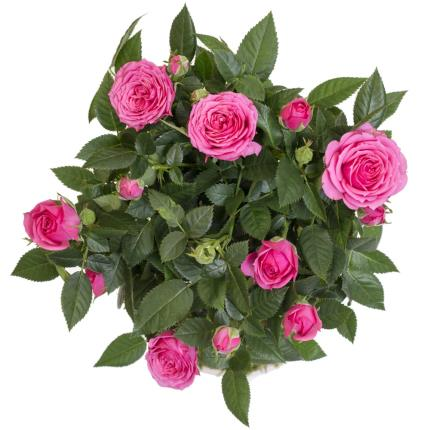 Plants - Mother's Day Miniature Rose Tree - Image 3