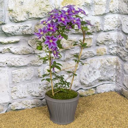 Plants - Clematis Planter - Image 2