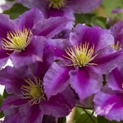 Plants - Clematis Planter - Image 3