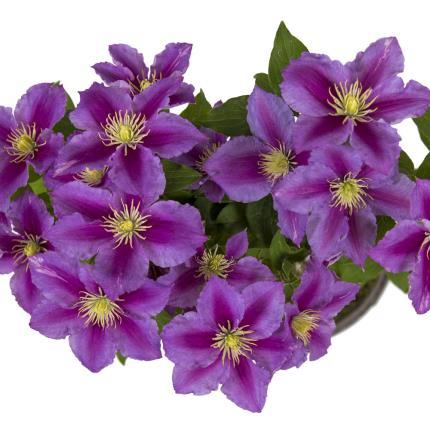 Plants - Clematis Planter - Image 4