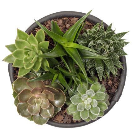 Plants - Succulent Bowl - Image 4