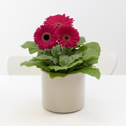 Plants - Gerbera Ceramic  - Image 2