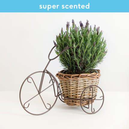 Plants - The Summer Lavender Bicycle - Image 2