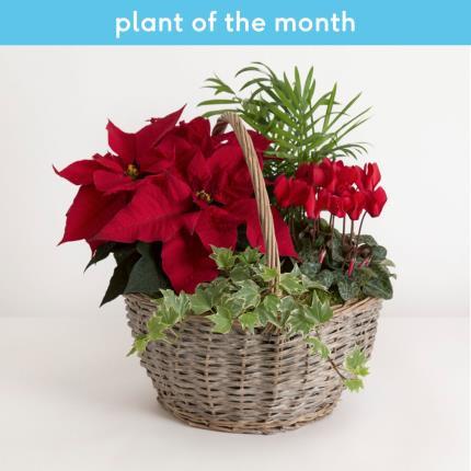 Plants - The Festive Flowering Basket   - Image 2
