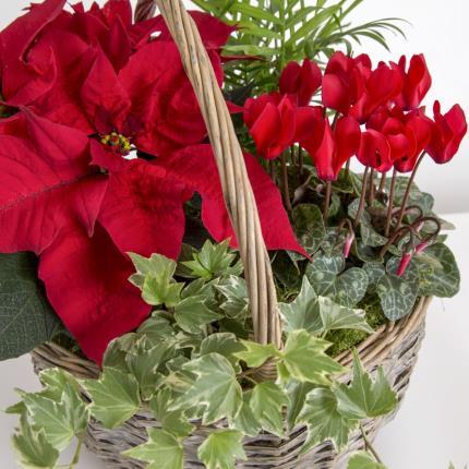 Plants - The Festive Flowering Basket   - Image 3