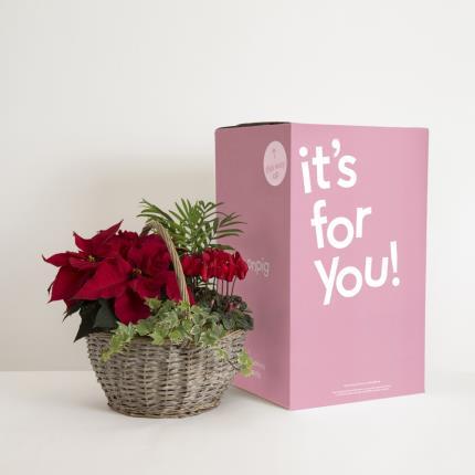Plants - The Festive Flowering Basket   - Image 4