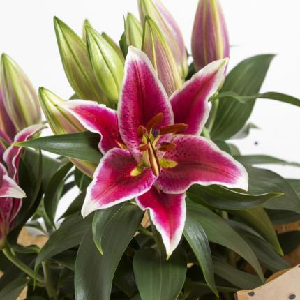 Plants - The Gift-Wrapped Lilies - Image 3