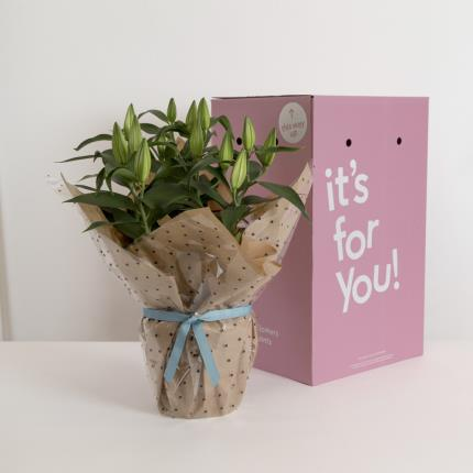 Plants - The Gift-Wrapped Lilies - Image 4