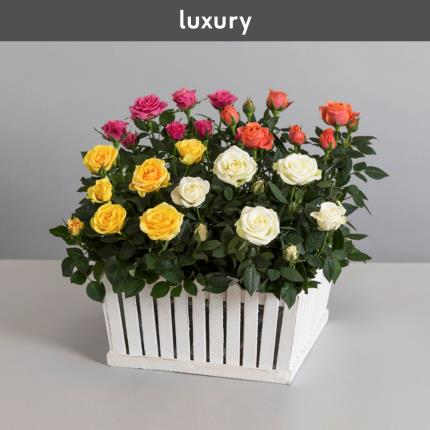 Plants - The White Picket Rose Garden - Image 2