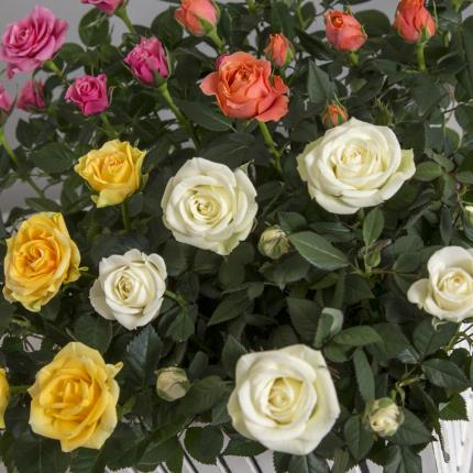 Plants - The White Picket Rose Garden - Image 3