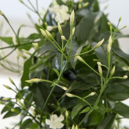 Plants - Scented Jasmine Hoop  - Image 3