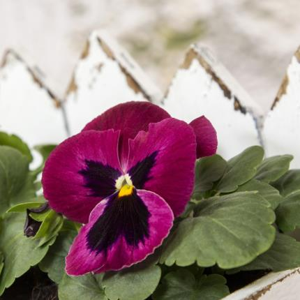 Plants - Outdoor Pansy Planter - Image 3