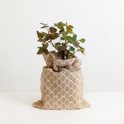 Plants - The Happy Birthday Rose - Image 2