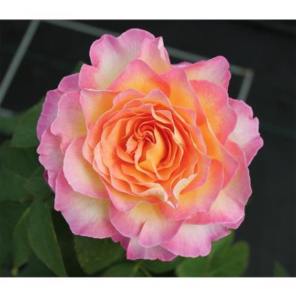 Plants - The Happy Birthday Rose - Image 3