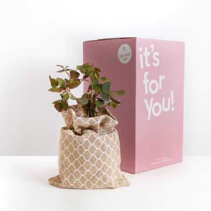Plants - The Happy Birthday Rose - Image 4