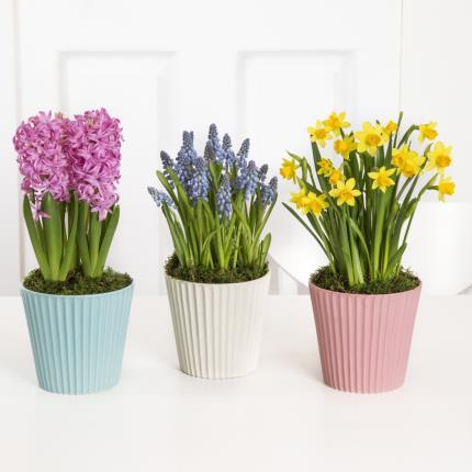 Plants - Spring Bulb Trio  - Image 2