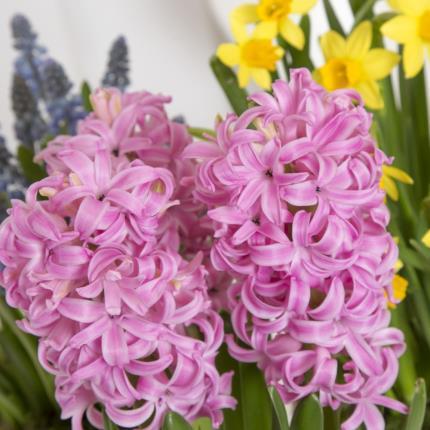 Plants - Spring Bulb Trio  - Image 3