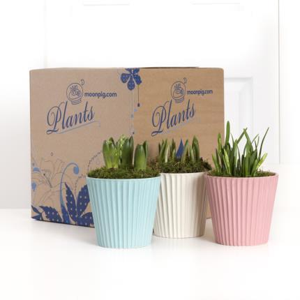 Plants - Spring Bulb Trio  - Image 4