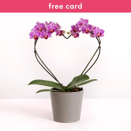 Plants - The Heart Orchid - Image 2