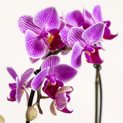 Plants - The Heart Orchid - Image 3