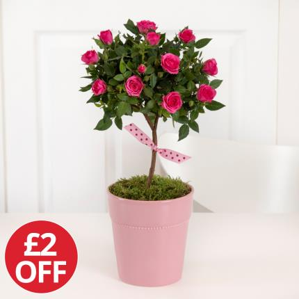 Plants - Mother's Day Pink Rose Tree - Was £30, Now £28  - Image 2