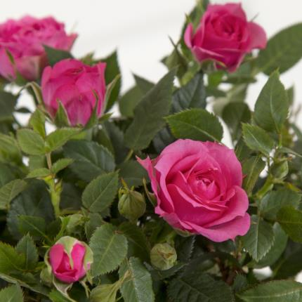 Plants - Mother's Day Pink Rose Tree - Was £30, Now £28  - Image 3