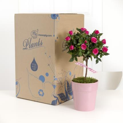 Plants - Mother's Day Pink Rose Tree - Was £30, Now £28  - Image 4
