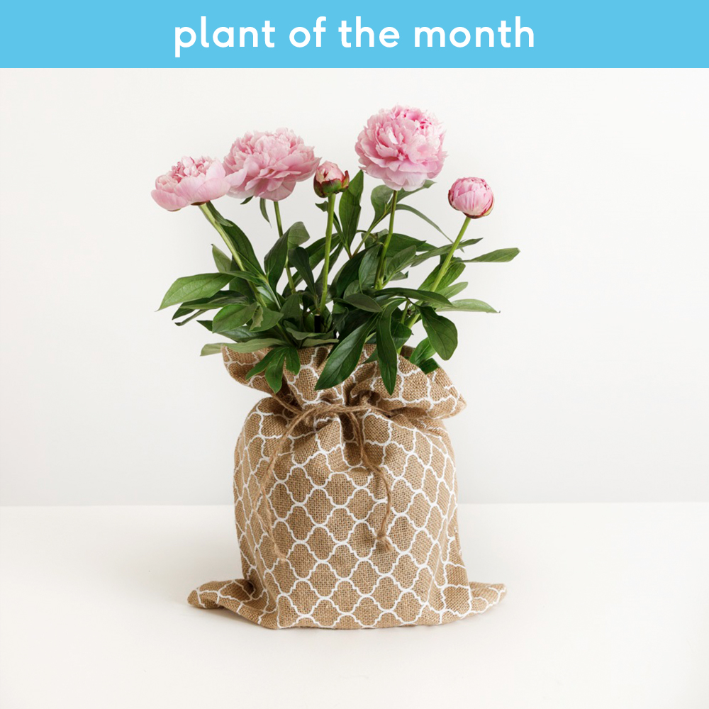Plants - The Peony Plant - Image 2