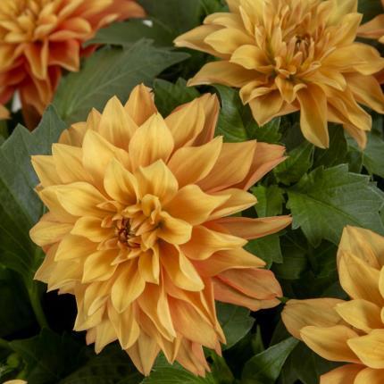 Plants - Sunset Dahlia Planter  - Image 3