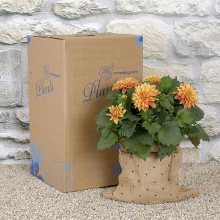 Plants - Sunset Dahlia Planter  - Image 4