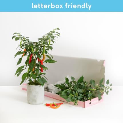 Plants - The Letterbox Chilli Plant - Image 2
