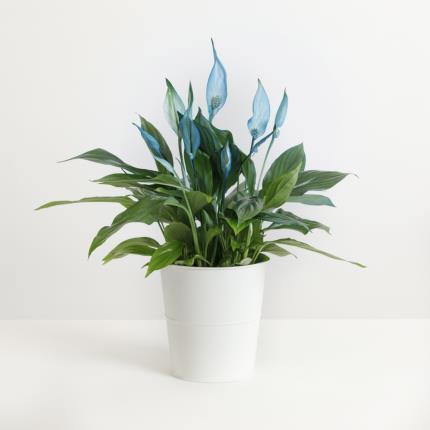 Plants - The Blue Peace Lily Plant - Image 2