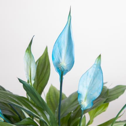 Plants - The Blue Peace Lily Plant - Image 3