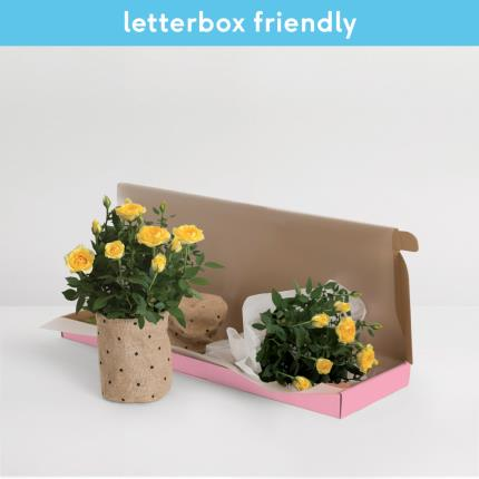 Plants - The Letterbox Yellow Rose  - Image 2