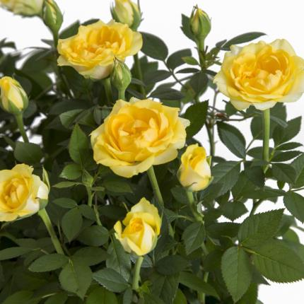 Plants - The Letterbox Yellow Rose  - Image 3