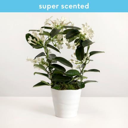Plants - The Stephanotis Planter - Image 2