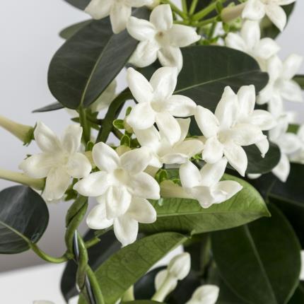 Plants - The Stephanotis Planter - Image 3