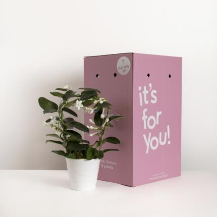 Plants - The Stephanotis Planter - Image 4