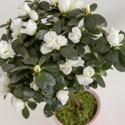 Plants - The Azalea Ceramic - Image 3